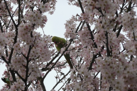 Parakeet in London